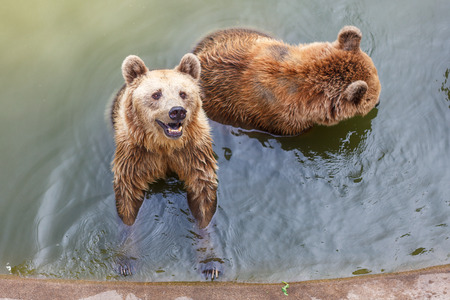 horribly: Brown bear in the water.