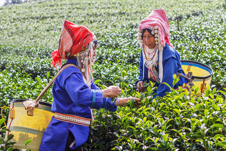 tea breaks: CHIANG RAI, THAILAND - December 31, 2015 : Women from Thailand breaks tea leaves on tea plantation, in 101 Tea Plantation, mae salong mountain, Chiang Rai, Thailand 31 December 2558.