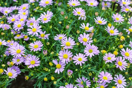Tatarian aster's purple flowers blooming Aster tataricus