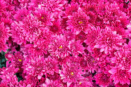 Colorful pink Aster flowers for background.