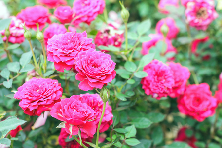 Pink rose in the garden. Stock Photo