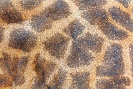 Textura de la piel de la jirafa Foto de archivo - 53948733