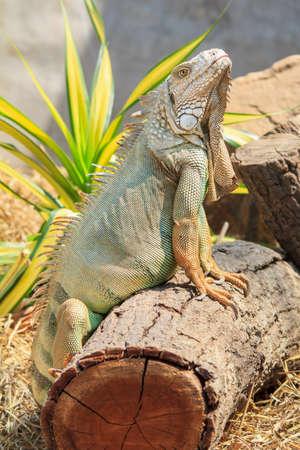 iguana: green iguana Iguana iguana
