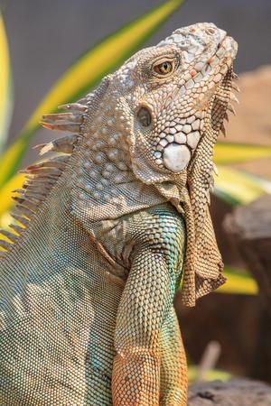 'no people': Close-up of green iguana Iguana iguana Stock Photo