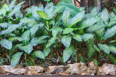 Dumbplant with beautiful white sparkle leafDieffenbachia maculata 'Star white'