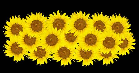 yellows: Sunflowers,Sunflowers blooming against a bright sky,Sunflowers,Sunflowers blooming ,beautiful sunflowers,big sunflowers ,Unseen Thailand flowers, yellows flowers
