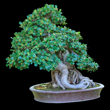 A small bonsai tree in a ceramic pot. Isolated on black background.