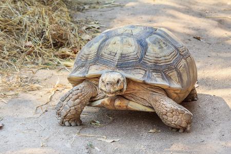 slowly: gaint tortuga negro caminando lentamente en el parque zoológico