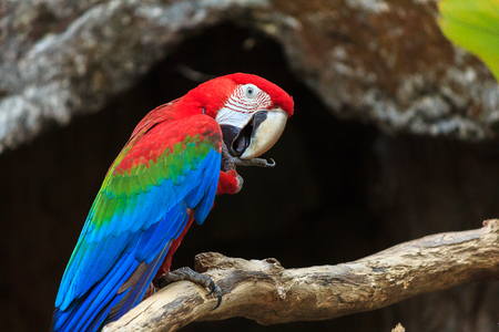 gold facial: colorful macaw parrots at zoo