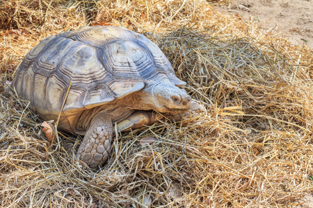black gaint tortoise at zoo Stock Photo - 54477374