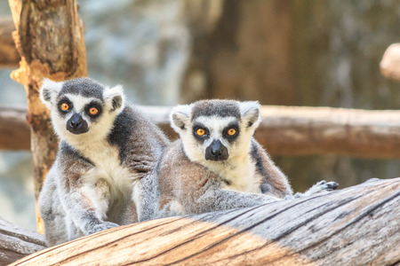 ring tailed: Ring tailed lemur at zoo Stock Photo