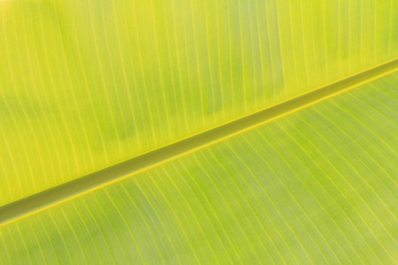 green background pattern: banana leaf background Stock Photo