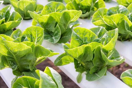 planted: Hydroponic vegetable is planted in a garden. Salad vegetable. Fresh organic vegetables.