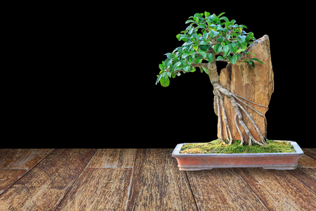 ornamental shrub: Bonsai tree in a ceramic pot on a wooden floor on black background for design.