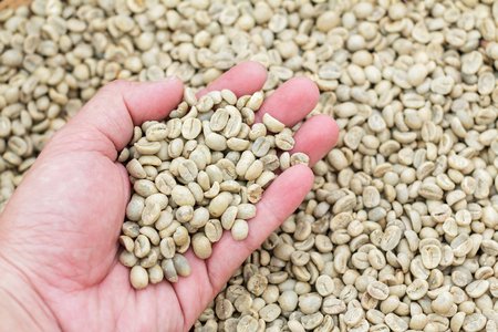 restaurateur: Many green coffee beans on hand. Coffee beans on a palm. Male hand with green coffee beans. Scattered coffee beans. Selected green coffee beans.