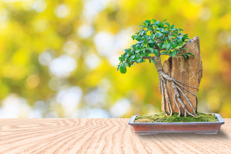 Bonsai tree in a ceramic pot on a wooden floor and blurred bokeh background for design Standard-Bild