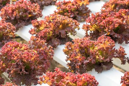raíz de planta: Vehículo hidropónico se planta en un jardín, verduras orgánicas frescas, ensalada de verduras. Foto de archivo