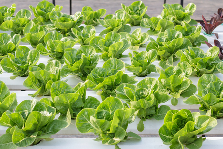 soilless cultivation: Hydroponic vegetable is planted in a garden.
