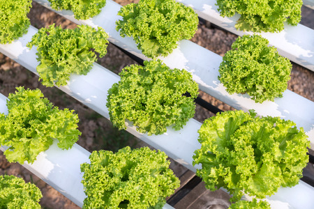 Hydroponic vegetable is planted in a garden. Salad vegetable. Fresh organic vegetables.