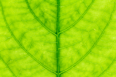 Leaf texture or leaf background for design with copy space for text or image. Abstract green leaf texture.