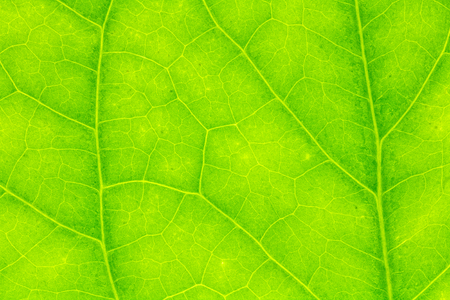 Leaf texture, leaf background for design with copy space for text or image. Leaf motifs that occurs natural.