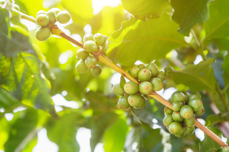 Green coffee beans on stem with sun set. Stock Photo