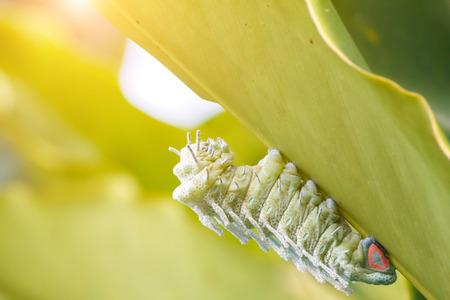Giant caterpillar green worm eating green leaf with sunlight. Atlas Moth (Attacus atlas) Caterpillar.