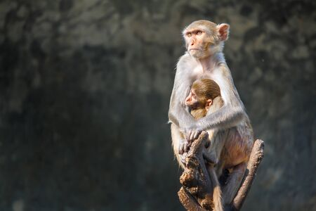 Mother monkey and baby monkey sitting on a tree branch. Stock Photo