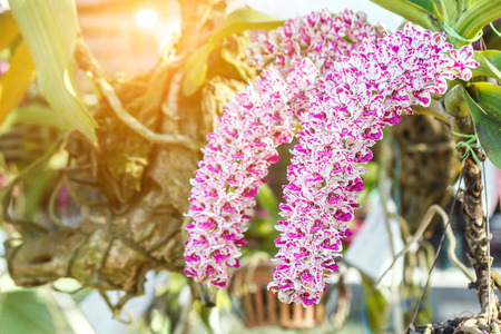 gigantea: Orchid flower in garden at winter, spring for postcard, beauty and agriculture idea concept design. Orchids are export business products of Thailand that make a lot of money. Rhynchostylis gigantea.