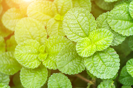 Fresh raw mint leaves in vegetable garden for health food aromatherapy and agriculture concept design. Stock Photo