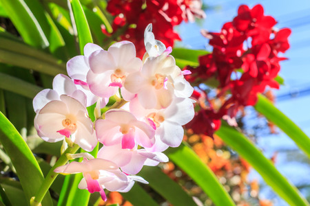 Beautiful orchid flower in the garden at winter or spring day for postcard. beauty and agriculture idea concept design. Orchids are export business products of Thailand that make a lot of money. Stock Photo