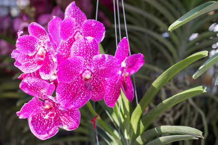 Orchid flower in the garden at winter or spring day for postcard beauty agriculture idea concept design. Phalaenopsis orchid is a genus in the orchid family (Orchidaceae) Stock Photo