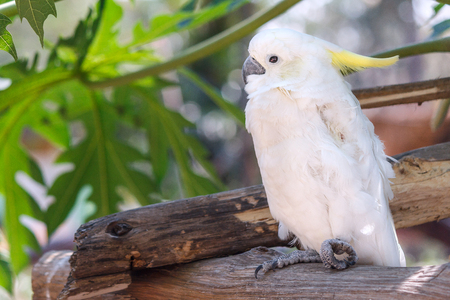 White Cockatoo on a tree branch with green leaf background. Portrait of cockatoo. Bird on a tree branch. Stock Photo