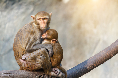 Mother monkey and baby monkey sitting on a tree branch with stone wall and sunlight background.