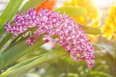 Orchideebloem in de tuin bij de winter of de lentedag voor prentbriefkaarschoonheid en het ontwerp van het landbouwidee concept. Orchideeën zijn exportproducten van Thailand die veel geld verdienen. Stockfoto - 88998508