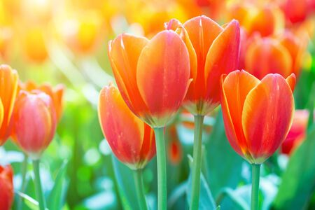 Tulip flower and green leaf background in tulip field at winter or spring day for postcard beauty decoration and agriculture design.