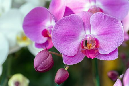 Orchid flower in orchid garden at winter or spring day for beauty and agriculture design. Phalaenopsis Orchidaceae.
