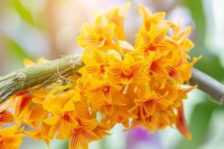 Orchideenblüte im Orchideengarten am Winter- oder Frühlingstag für Schönheits- und Landwirtschaftsdesign. Dendrobium bullenianum Orchideengewächse. Standard-Bild