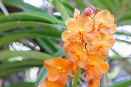 Orchid flower in orchid garden at winter or spring day for beauty and agriculture design. Vanda Orchidaceae.