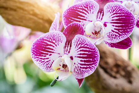Orchid flower in orchid garden at winter or spring day for postcard beauty and agriculture design. Phalaenopsis Orchidaceae.