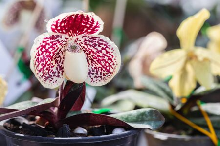 Orchid flower in orchid garden at winter or spring day for postcard beauty and agriculture design. Paphiopedilum Orchidaceae. or Ladys Slipper.