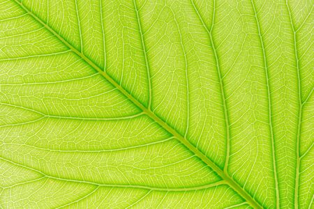 Green leaf pattern texture background with light behind for website template, spring beauty, environment and ecology design. Stock Photo