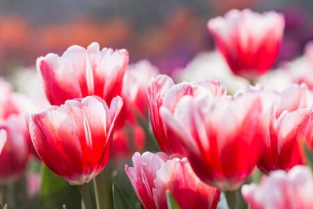 Colorful tulips grow and bloom in close proximity to one another in flower garden. Stock fotó