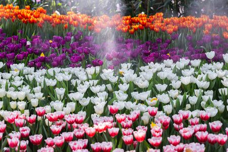 Colorful tulips grow and bloom in close proximity to one another in flower garden.