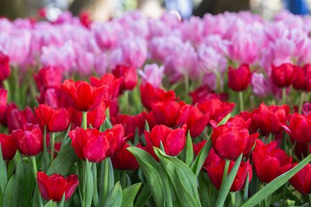 Colorful tulips grow and bloom in close proximity to one another in flower garden. Reklamní fotografie