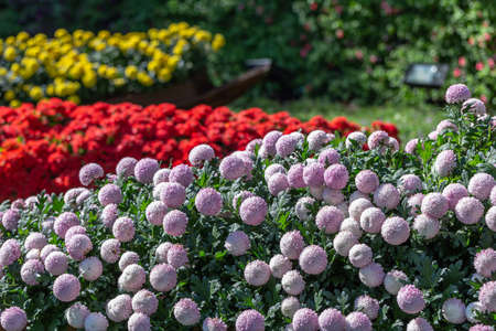 Pompom chrysanthemums flower in garden at sunny summer or spring day for decoration. Stok Fotoğraf - 160322541