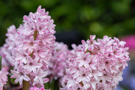 Hyacinth flower in the garden at sunny summer or spring day.