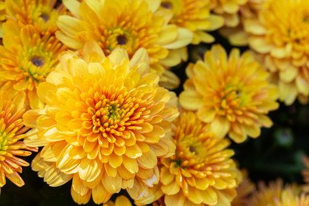 Chrysanthemums flower in botanical garden. Orange flower. Stok Fotoğraf