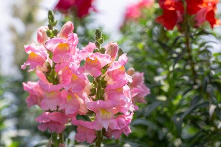 Colorful flower of Snapdragon, Antirrhinum majus.
