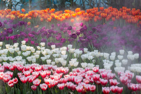Fresh colorful tulips flower bloom in the garden. Stok Fotoğraf - 160328048